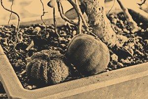 Home Orchard (Garden) Vintage