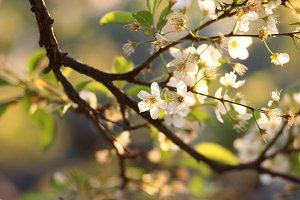 flowers of plum to the sunset