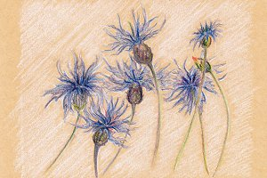 Blue cornflowers craft sketched art