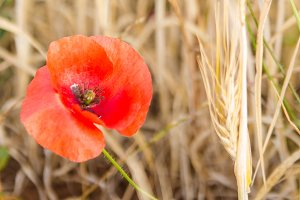 Red poppy and yellow wheat.