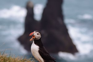 Portrait of a Puffin on a Cliff
