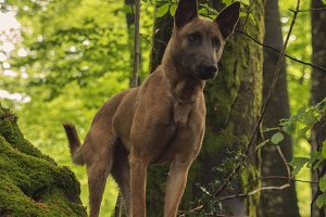 Malinois dog on a tree