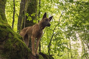 Malinois dog on top of a tree