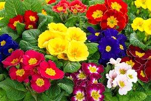 Spring primula flowers