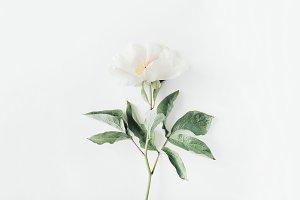 Beige peony flower