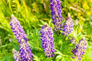 flowers of a lupine