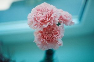 Beautiful carnation flowers