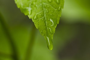 Raindrops on green leaves