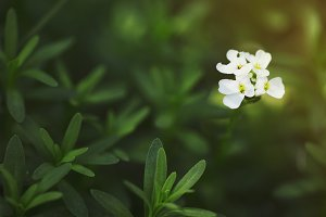Macro of candytuft (Iberis) flowers