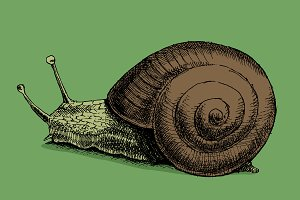 Snail. Hand drawn. Vector