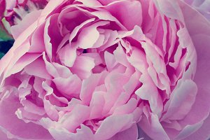 Pink Peony Petals