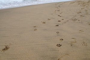 Paw Prints on Sand at Beach