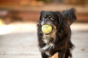 Happy Dog Running with Ball in Mouth