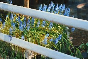 Muscari flowers in garden
