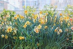 Daffodils in garden