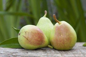 harvest pears