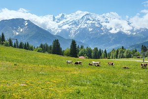 Herd cows on glade and Mont Blanc