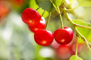 Cherries on tree branch