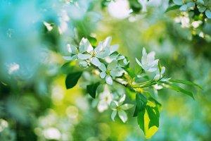white apple flowers, bloom