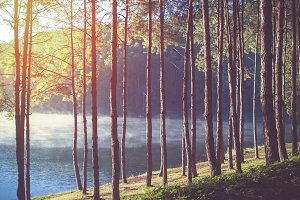 Pine forest in the morning.