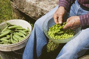 harvest peas