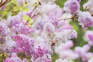Lilacs blossoming