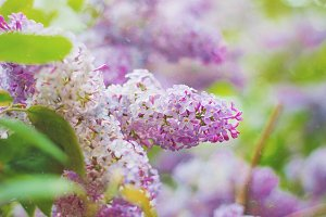 Lilacs close up
