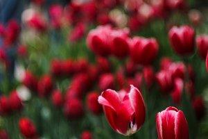 Dark red tulips
