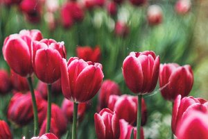 Dark red tulips with film effect