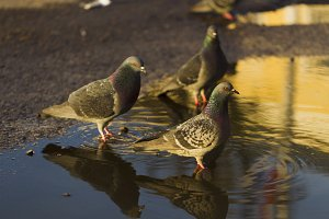 Pigeons drinking water from puddles, sunlight