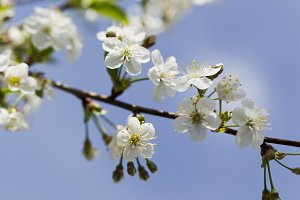 White cherry blossoms, sunshine, Macro