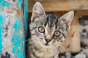 Brown eyed tabby kitten