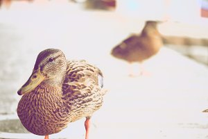 My Name Is Duck