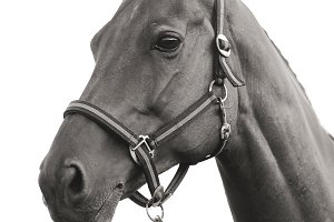 Black and white sport horse