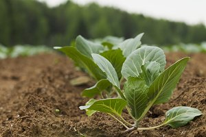 Field planted with cabbage