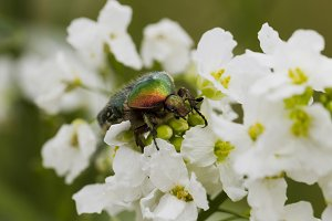 Beetle cetonia aurata on white flowers