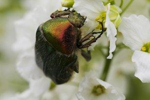Beetle cetonia aurata on white flowers