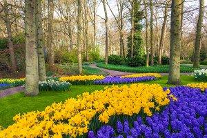 Blooming flowers in Keukenhof park