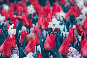 Tulips. Blooming flowers in spring
