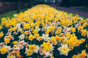 Daffodils. Blooming flowers in park