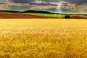 Wheat field, completely yellow