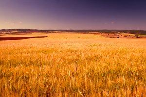 Wheat field, completely yellow II