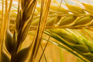 Ear of wheat III