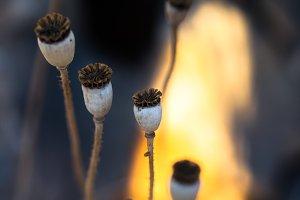 Dry poppy seed capsules