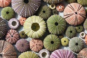 Colorful sea urchin shells
