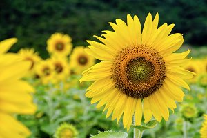 Many yellow flower of the Sunflower