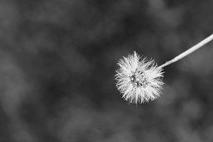 Dandelion like flower in b/w