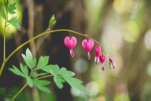 Bleeding hearts 2