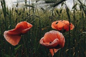 Poppy seeds in a wheat field