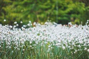 Cotton grass field